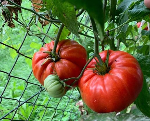 Barić rajčica