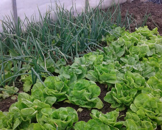 Barić salata